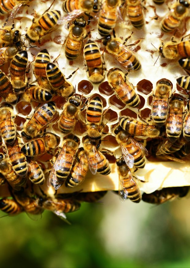 Honey Bee Scaled Aspect Ratio 310 436